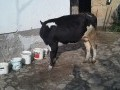 Обява Продавам черно - шарена крава