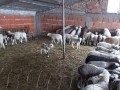 Обява Продавам овце с агнета