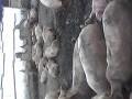 Обява Продавам угоени пасета