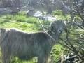 Обява Продавам коза