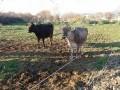 Обява Продавам две крави - Кафяво американско и три телета