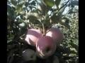 Обява Продавам свежи ябълки