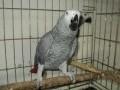 Обява Продавам папагал Жако