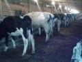 Обява Продавам 11 млекодайни крави