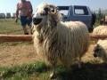 Обява Продава изгодно шилета и овце !!!