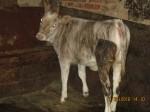 Обява Продавам крава и теле