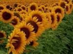 Обява Продавам земеделски земи в област Монтана, Враца, Видин