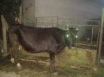 Обява Продавам балканска крава