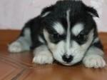 Обява Сибирското хъски кученца с малка такса осиновяване<.., ,