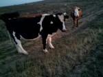 Обява продавам говеда