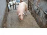 Обява Продавам готови прасета за клане-дунавска бяла! 3.50/к