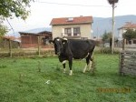 Обява Продавам стелна крава