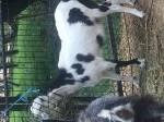 Обява Продавам чипа коза