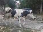 Обява Продавам две крави и юница