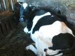Обява Продавам черно шарена крава