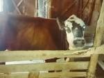 Обява Крава(Юница)с теле.