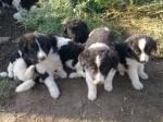 Обява Продавам каракачански кучета