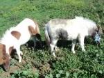 Обява Продавам шотландско пони- кобилки