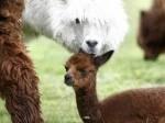 Обява Продавам лама Алпака