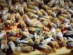 Обява Продавам пчелни майки Карника