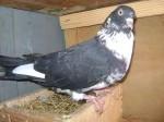 Обява Продавам гълъби