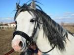Обява Бяло приказно испанско пони