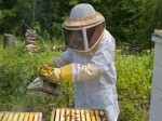Обява Развити пчелни семейства