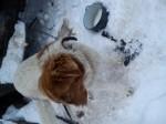 Обява каракачанско куче