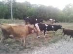 Обява Продавам 5 броя стелни крави. 3 черношарено и  кафяво