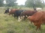 Обява Продавам крави