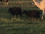 Обява Продавам мини овце  семейство