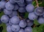 Обява грозде мерло димят и грозде за ракия
