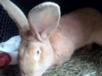 Обява Продавам зайци великани или заменям за пуйки