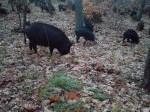 Обява Продавам Източно Балкански прасета