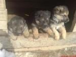 Обява Продавам чистокръвни немски овчарки