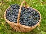 Обява Продавам грозде - сорт мерло