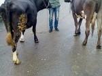 Обява prodavam mladi bremenni kravi ...