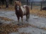Обява  Продавам пони за езда
