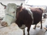 Обява bremenna krava
