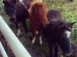Обява Продавам две мъжки шотландски понита