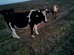 Обява Продавам крави и бикове за клане и разплод