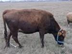Обява продавам елитно краве