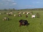 Обява продавам стадо 51 кози майки