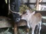 Обява Продавам крава с теле