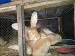 Обява Продавам зайци Белгийски великан