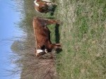Обява продавам бик