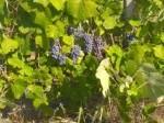 Обява Продавам грозде от сорт широка мелнишка