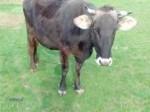 Обява Крава