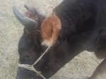 Обява Продавам крава джерсей, предстои и отелване