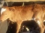 Обява продавам крави, бикове, телета